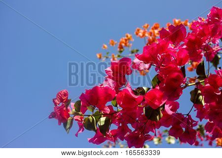 Bright yellow Bougainvillea plant flowers and blue clear sky