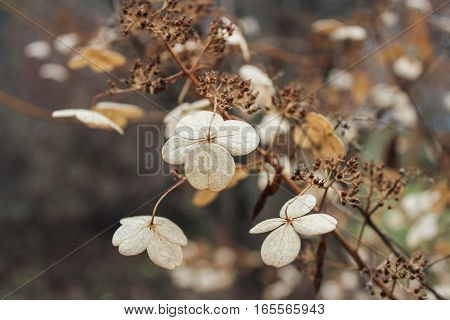 Dried flowers on a branch. Withered and dried plants in late autumn.