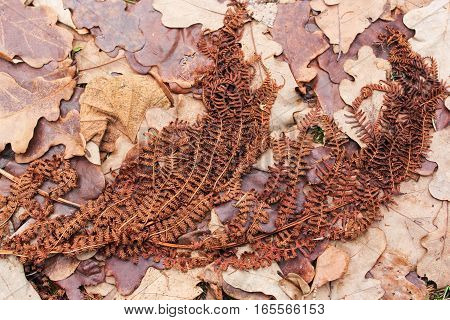 Dried branch of fern. Withered and dried plants in late autumn.