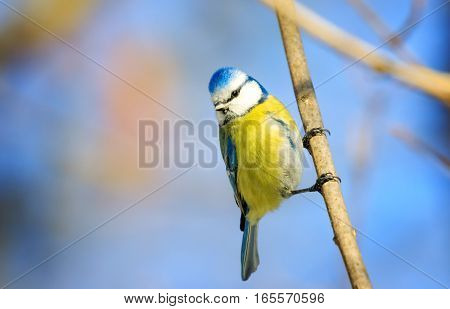The Eurasian blue tit a small passerine bird in the tit family Paridae. The bird is easily recognisable by its blue and yellow plumage and its size