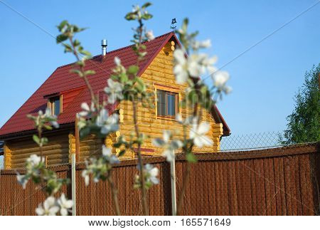 Defocused branch of blossoming apple trees in a garden on background of a log country house on cloudless sunny spring day