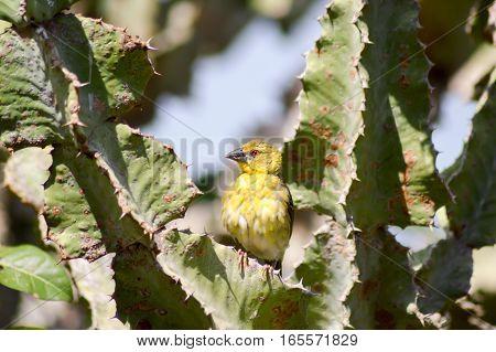 Weaver posing on a cactus in East Tsavo Park in Kenya