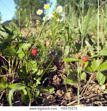 Many ripe strawberries grows outdoor in green grass with daisy flowers closeup in summer day
