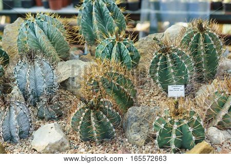 Astrophytum (lat. Astrophytum) or Star cactus is a genus of spherical or cylindrical low succulents from the Cactus family common in Northern Mexico and the southern United States.