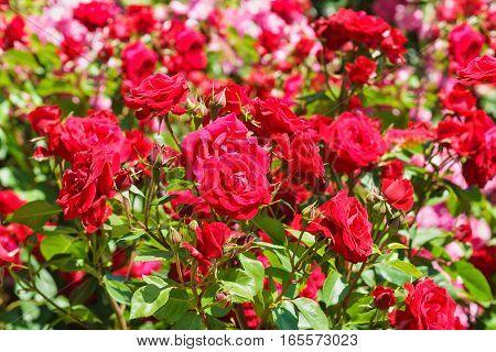 Lush flowering rose varieties Niccolo Paganini. Meilland France 1991.