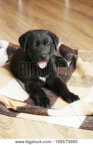 Beautiful black labrador puppy on the plaid