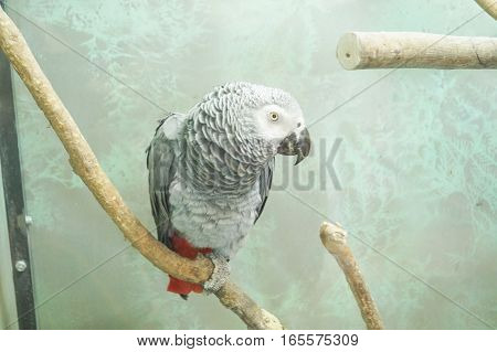 african grey parrot head close-up looking and sitting on a branch