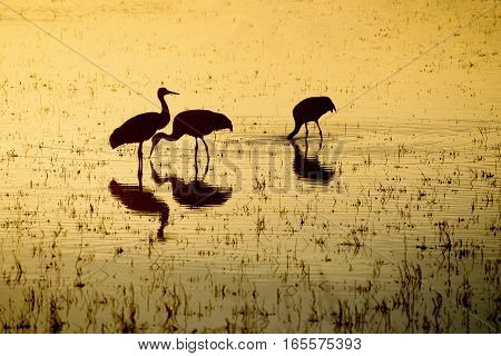 Silhouette of Sandhill Cranes Eating at Sunset