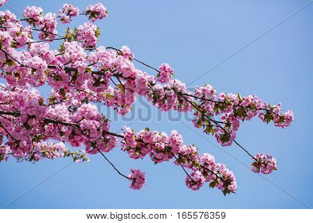 Pink flower blossoms over the blue sky