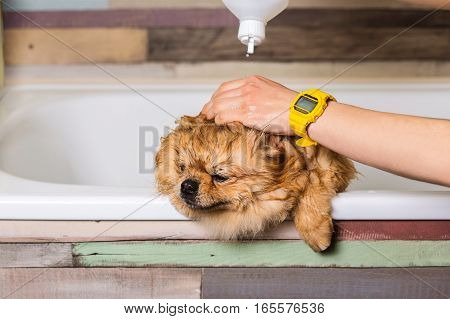 Bathing little dog in the bath, apply shampoo on the dog's fur. Taking care of purebred pets