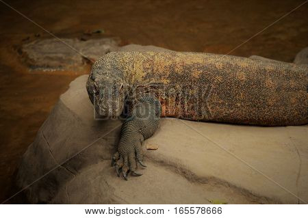 A Komodo dragon laying on a rock