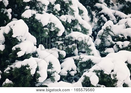 Winter tree covered with snow as background. Close-up