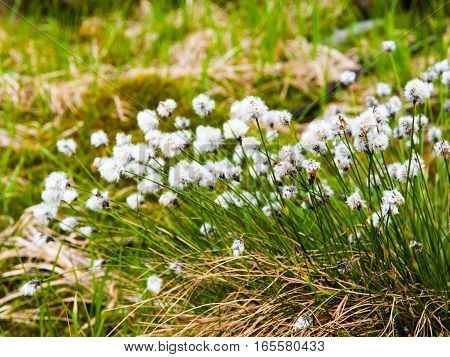 White blooming of tussock cottongrass, Eriophorum vaginatum, perennial herbaceous flowering plant, Jizera Mountains, Czech Republic