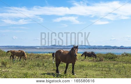 Brown horses grazing near the sea in Apulia (Italy)