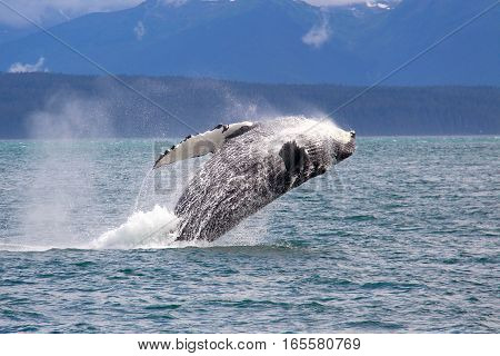 Humpback whale jumping in the sea of Alaska