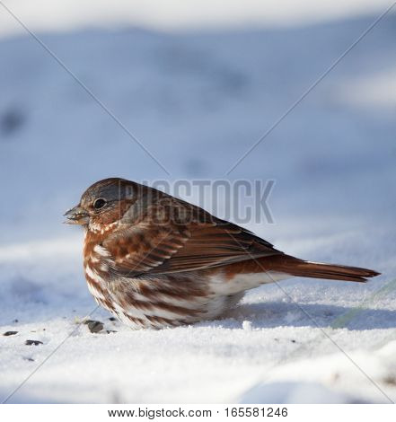 Fox Sparrow (Passerella iliaca) eating seeds in the snow