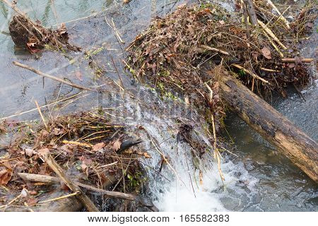 Water is rushing through a break in a beaver dam after heavy rains