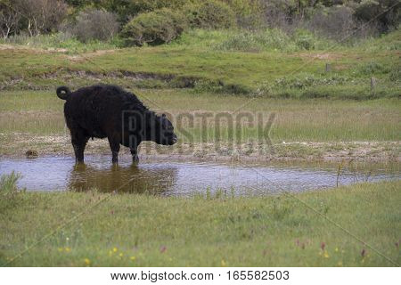 Galloway Cow standing in a small Pool in a Dune-Valley