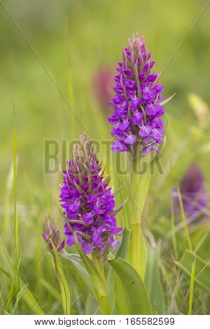Southern Marsh Orchid (Dactylorhiza praetermissa) two plants flowering in a Dune-Valley