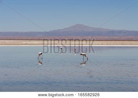 Flamingos in the laguna, Atacama Desert, Chile