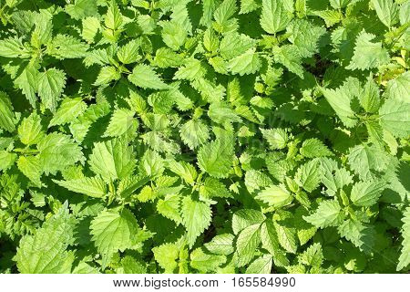 Thickets of lot young green scalding nettles in summer day closeup