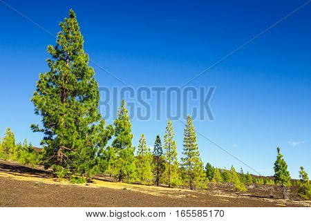 View Of Pine Forest On Lava Rocks At The Teide National Park In Tenerife, Spain