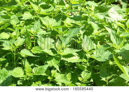 Thickets of lot young green scalding nettles in summer day outdoors closeup