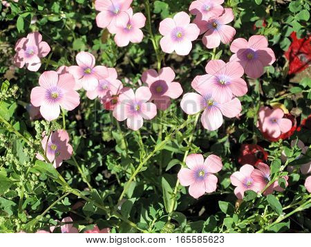 The Hairy Pink Flax in park in Ramat Gan Israel April 4 2007