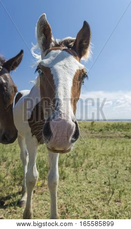Pinto foal grazing near the sea in Apulia (Italy)