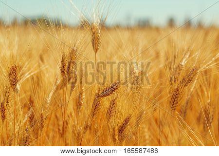 Beautiful Ripe Harvest Gold Spikelets Wheat Field
