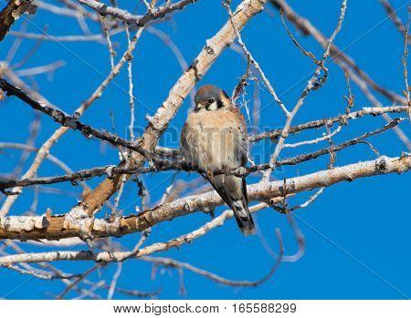 An American Kestrel Perched on a Branch Enjoying the Sun