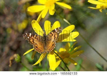 Vanessa cardui is a well-known colorful butterfly known as the painted lady or in North America as the cosmopolitan