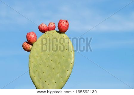 Indian fig opuntia cactus the term prickly pear is the most common name for this. single rounded cladodes also called platyclades with five red fruit blue sky background.