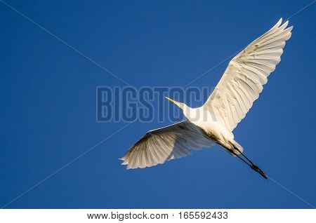 Great Egret Flying in a Clear Blue Sky