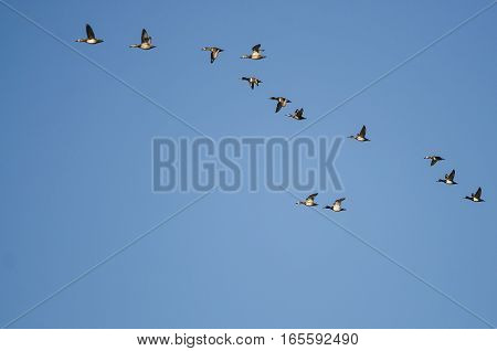 Large Flock of Ring-Necked Ducks Flying in a Blue Sky