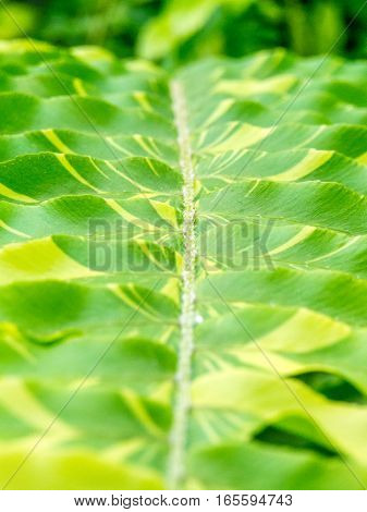 close up of variegated fern leaves portrait orientation