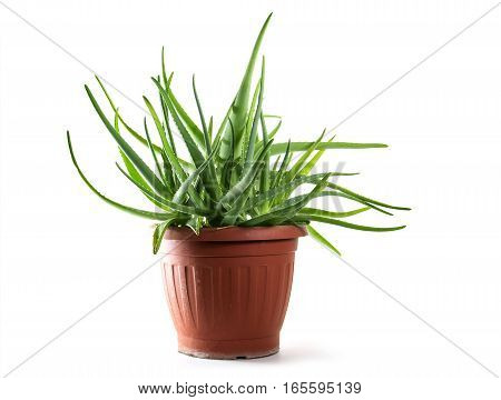 Aloe vera growing in a brown pot a medical healing plant for skin treatment and cosmetics isolated on a white background