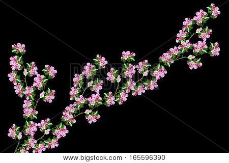 Flowering branch of apple isolated on a black background. Spring