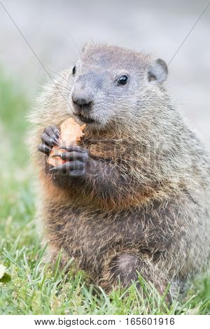 Cute little Woodchuck (Marmota Monax) sitting up on grass about to eat a carrot, portrait