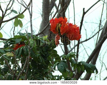 red African tulip tree flower in the tropical garden