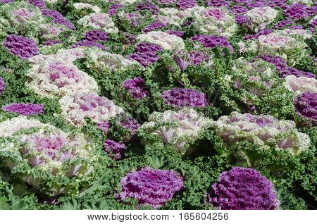 Close up colorful field of purple crops