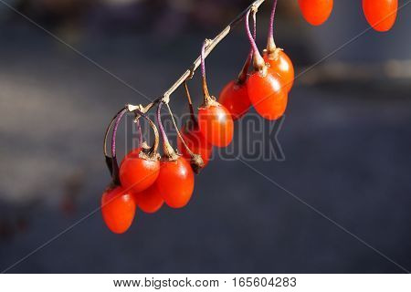 close up on red fresh goji on the branch in harvest season
