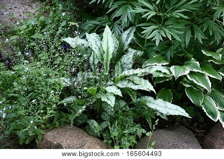 In a flower bed among plants it is allocated with the silvery leaves high quality pulmonaria.
