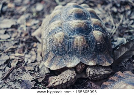 old turtles hide head in carapace on dry leaf ground