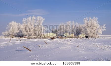 Rural home with cattle in Alberta outside Calgary on a cold winter day.