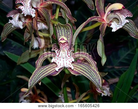 Fragrant Orchid Flower - Cymbidium Tracyanum