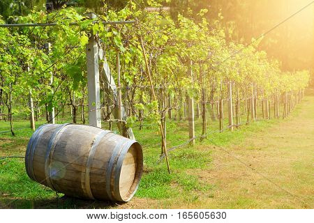 Old wood barrel in the vineyard background at sunrise.