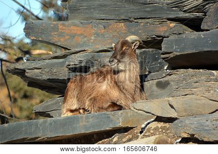 Wild goats(Capra aegagrus) are animals of mountain habitats. They are very agile and hardy, able to climb on bare rock and survive on sparse vegetation