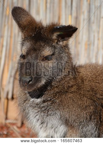 A wallaby is any animal belonging to the family Macropodidae that is smaller than a kangaroo and hasn't been designated otherwise.