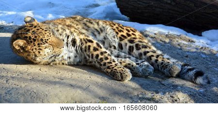 The Amur leopard is a leopard subspecies native to the Primorye region of southeastern Russia and the Jilin Province of northeast China. It is listed as Critically Endangered on the IUCN Red List.